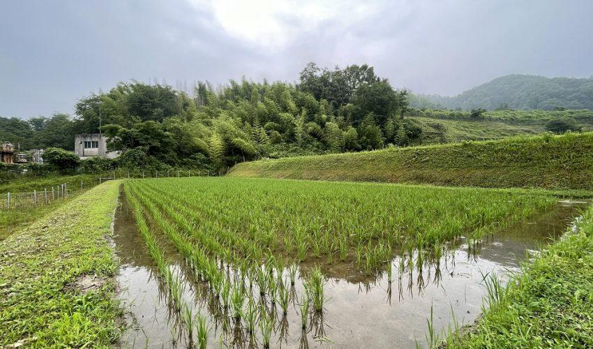 枚方市穂谷の稲作チャレンジ